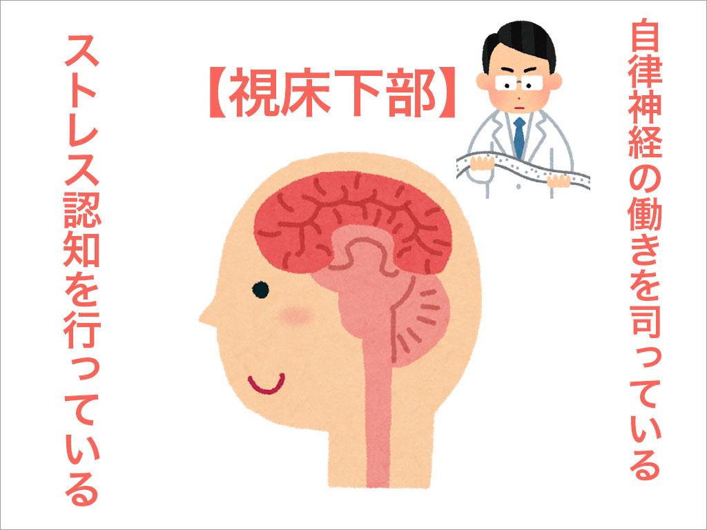 自律神経の働きを司っているのも【視床下部】