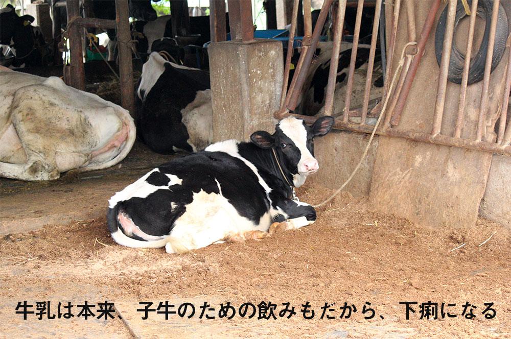 牛乳は本来、子牛のための飲みもだから、下痢になる