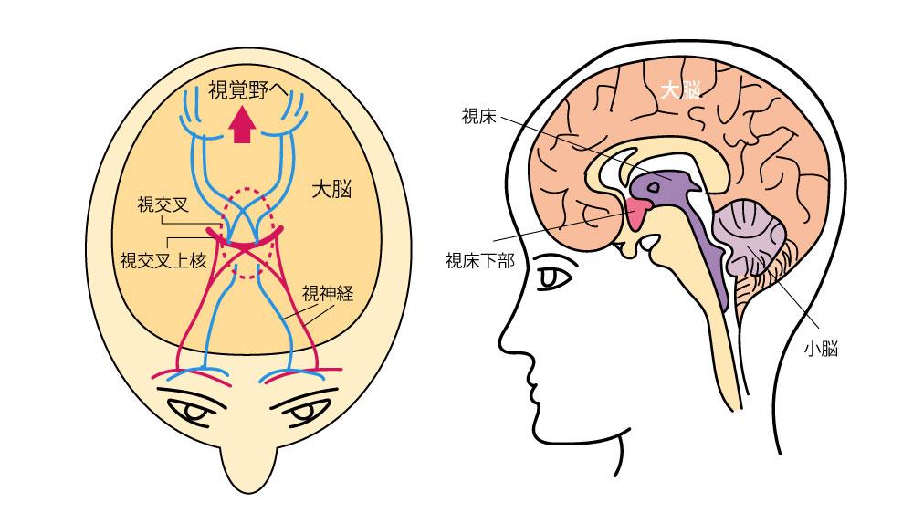 細胞のリズムを指揮する視交叉上核