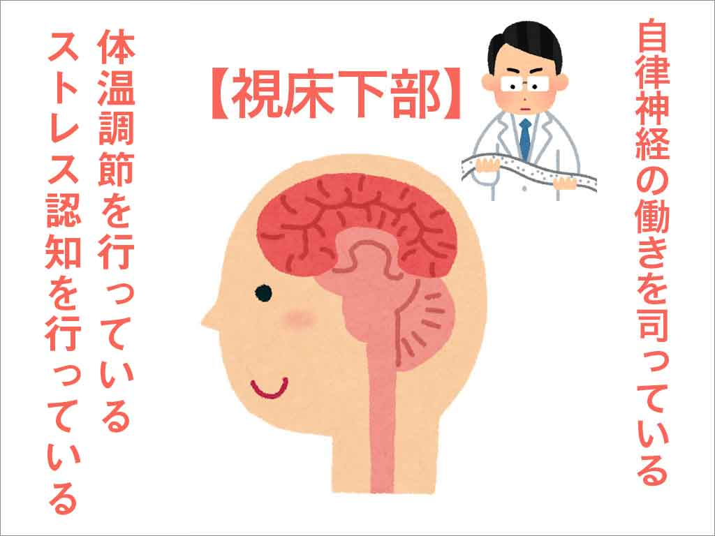 ストレスや体温調節をする視床下部