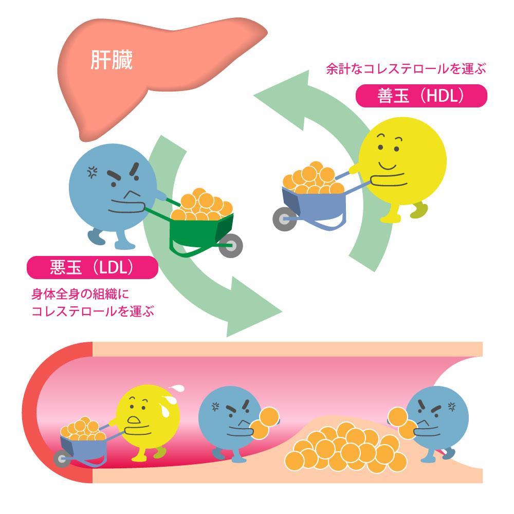 善玉コレステロールと悪玉コレステロールの働き