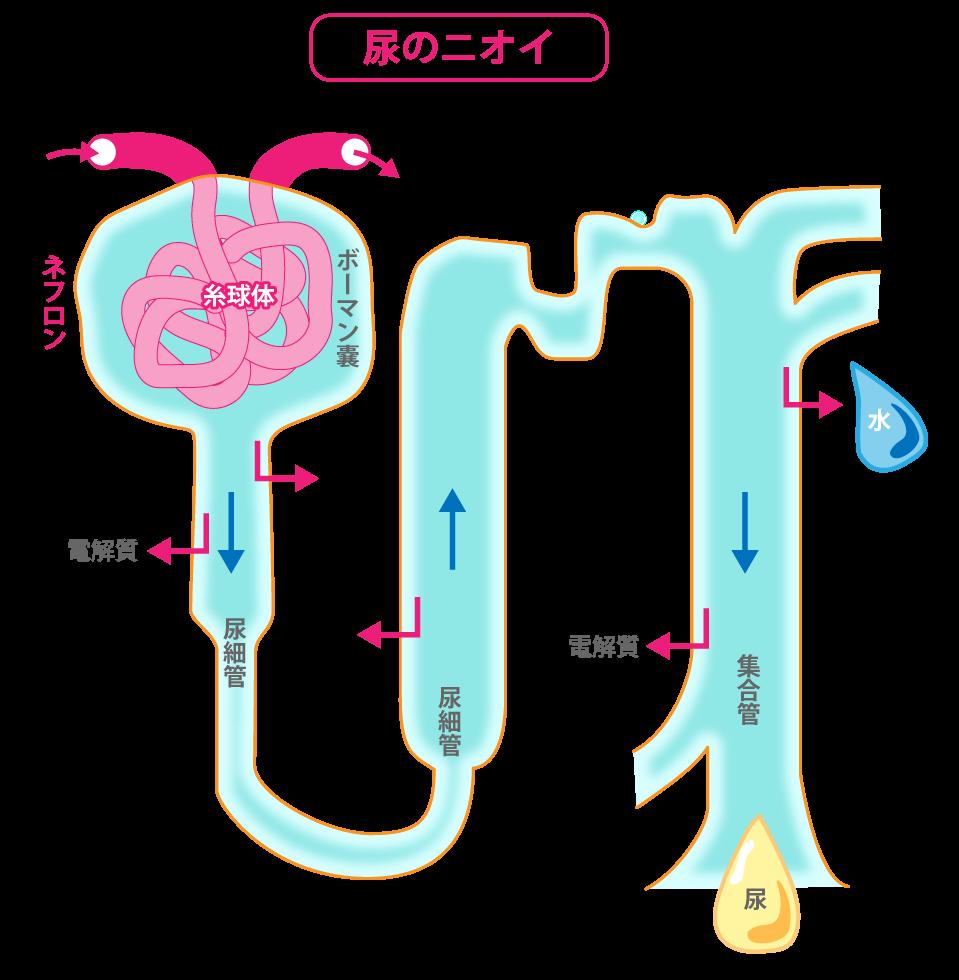 尿細管で、体にとって必要な物質を選び出し、その約99%を再吸収します