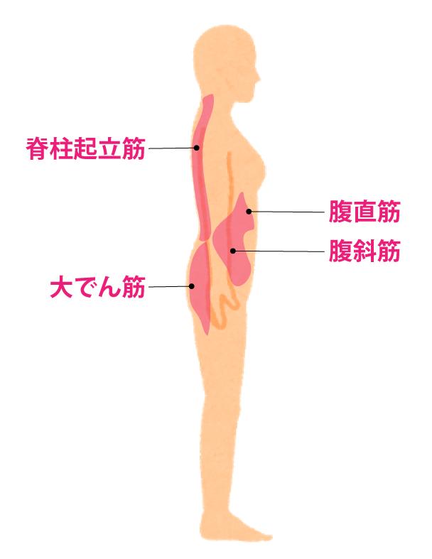 コアマッスルの箇所は、腹斜筋、腹直筋、脊柱起立筋、大臀(でん)筋など